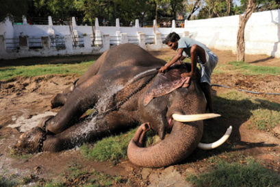 real-india-tusker