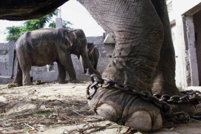 rear-elephant