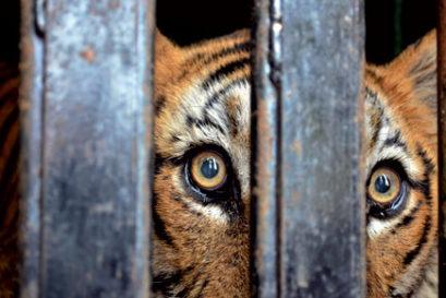 tiger-maneater