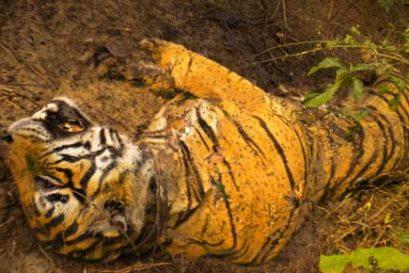 tiger_dead
