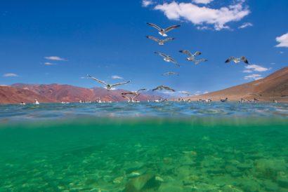 Brown-headed gulls fly over a high-altitude lake in Ladakh (Photo: DHRITIMAN MUKHERJEE)