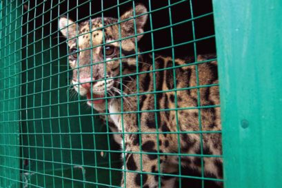 A clouded leopard in captivity