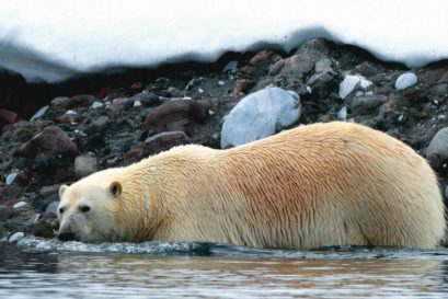 Climate change is forcing polar bears out of their traditional habitat