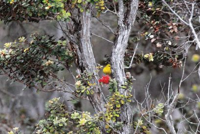The Amakihi feeds on the scarlet blooms of the Ohea with a bill suited to drink nectar