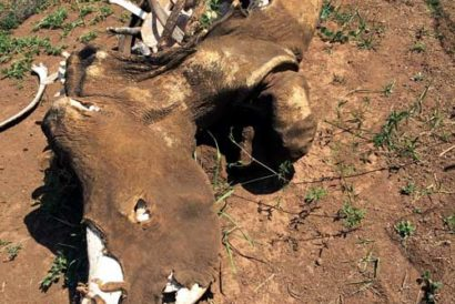 A poached rhino carcass at Askari Game Lodge in South Africa