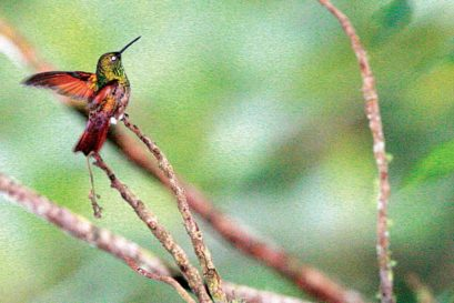 The Berryline is a beautiful green jewel with rufous red wings and tail