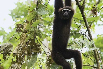 A young male hoolock gibbon swings through the trees at Berjan Wildlife Sanctuary