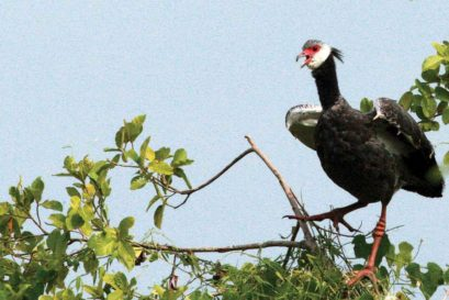 The northern screamer, a Latin American goose, at Barbacoas Lake in Colombia