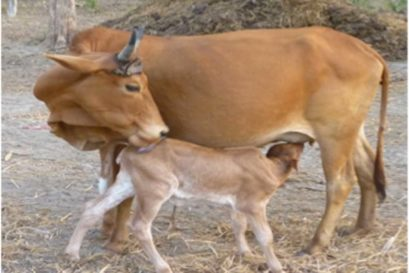 Not Cow, But Bull Slaughter