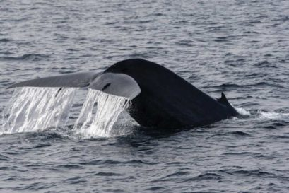 The Pygmy Blue Whale found in the Indian Ocean is about 50 feet long and weighs 50 tonnes