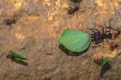 Leafcutter Ants at work at the Cocobolo Nature Reserve, Panama
