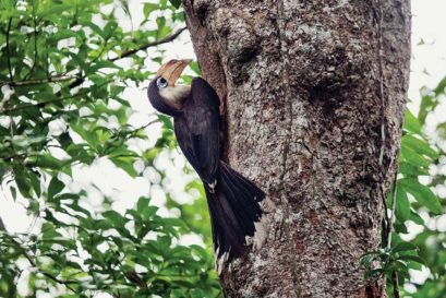 An Austen's Brown Hornbill in Khao Yai National Park, Thailand