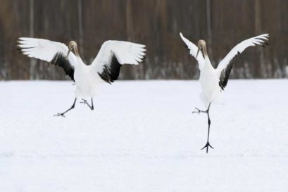 Red-crowned cranes dance in a snowy field in Kushiro, Hokkaido