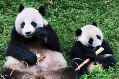 Giant Pandas at Dujiangyan Conservation and Research Centre in Chengdu, China