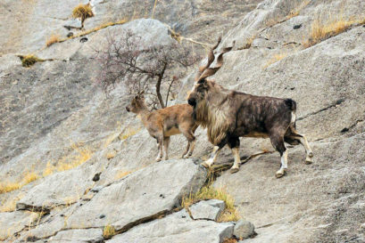 The markhor makes its presence felt in the high reaches of the LoC