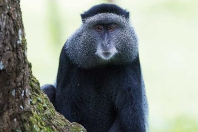 The blue monkey of Kakamega