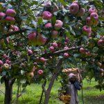 'Govt to Purchase $800 Million Worth of Kashmiri Apples'