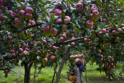 'Govt to Purchase $800 Million Worth of Kashmiri Apples'
