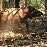 Tailing the Tapir