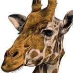 Why Is the Giraffe's Neck So Long?
